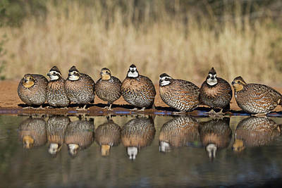 Drinking Photograph - Northern Bobwhite Colinus Virginianus by Danita Delimont