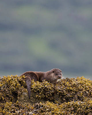 Photograph - Otter On Seaweed by Peter Walkden