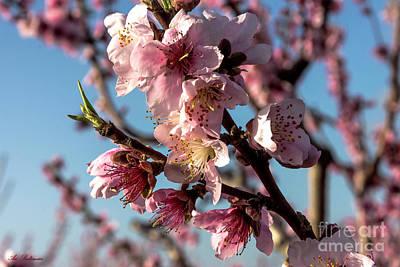 Photograph - Peach Blossom by Arik Baltinester