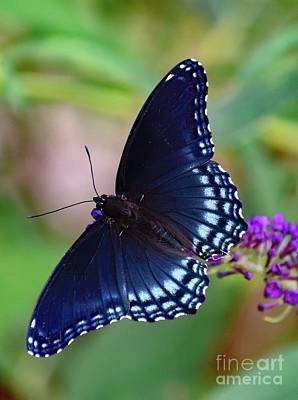 Book Quotes - Perfect Form - Red-Spotted Purple by Cindy Treger