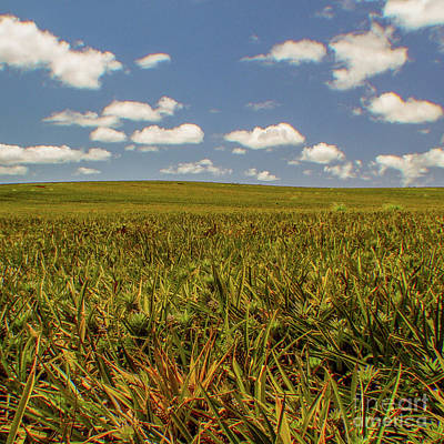 Photograph - Pineapple Fields Forever - Oahu, Hawaii 756 S  by D Davila