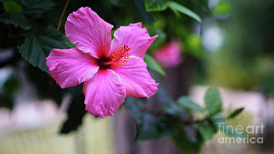 Photograph - Pink Hibiscus Flower by Pablo Avanzini