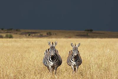 Photograph - Plains Zebra, Masai Mara Game Reserve by Paul Souders