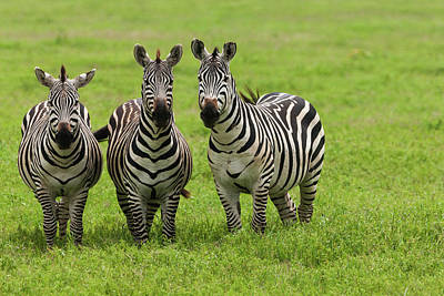 Photograph - Plains Zebras, Ngorongoro Conservation by Mint Images - Art Wolfe