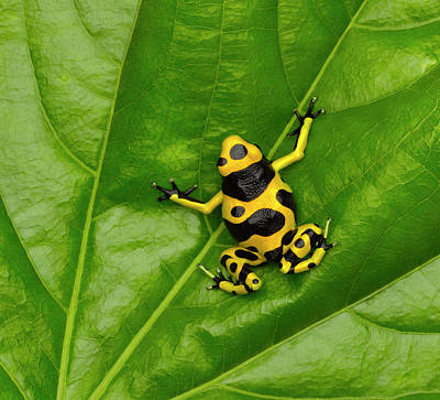 Photograph - Poison Dart Frog by Don Farrall