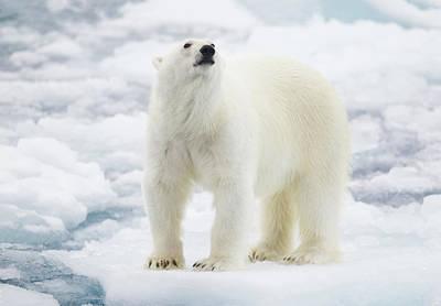 Polar Bear Art Print by Kencanning