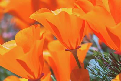 Photograph - Poppies by Jonathan Nguyen