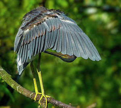 Photograph - Preening Reddish Heron by Donald Brown