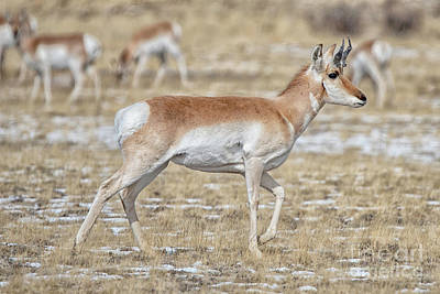 Photograph - Pronghorn by Bitter Buffalo Photography