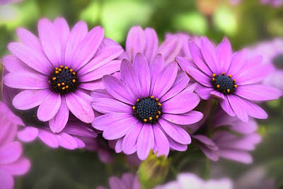 Photograph - Purple Daisies  by Saija Lehtonen