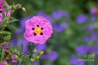 Art Print featuring the photograph Purple Flowered Rock Rose by Tim Gainey