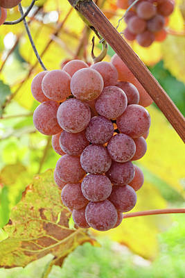 Photograph - Red Grapes Hanging on the Vine by Ray Sheley