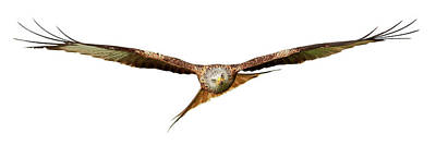 Photograph - Red Kite - Bird Of Prey In Flight by Grant Glendinning