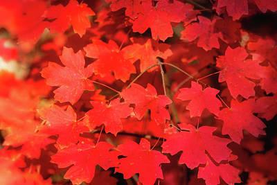 Photograph - Red Maple by Saija Lehtonen