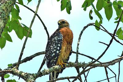 Photograph - Red Shouldered Hawk 3 by Lisa Wooten