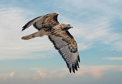 Photograph - Red Tailed Hawk 12 by Rick Mosher