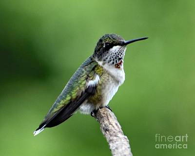 Beverly Brown Fashion - Relaxed Ruby-throated Hummingbird by Cindy Treger