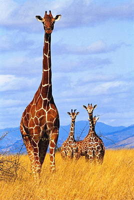 Photograph - Reticulated Giraffes Giraffa by Mitch Reardon