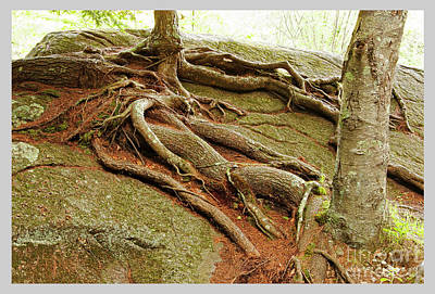 Photograph - Roots On Rock by Tom Cameron