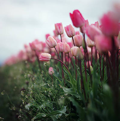 Flower In Rain Wall Art - Photograph - Row Of Pink Tulips In  The Rain by Danielle D. Hughson