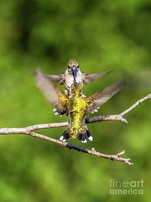 Marvelous Marble - Ruby-throated Hummingbirds Facing Off by Cindy Treger