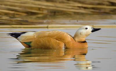 Photograph - Ruddy Shelduck Zhangye Wetland Park Gansu China by Adam Rainoff