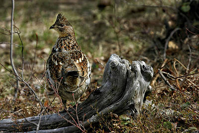 Photograph - Ruffed Grouse 50701 by Rick Veldman