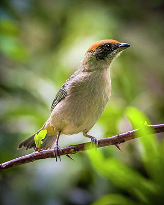 Photograph - Scrub Tanager Entreaguas Ibague Tolima Colombia by Adam Rainoff