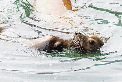 Photograph - Sea Lions by Michael Chatt