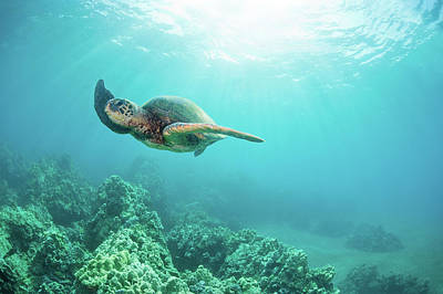 Photograph - Sea Turtle Light by M Swiet Productions