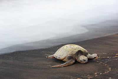 Photograph - Sea Turtle by Nicole Young