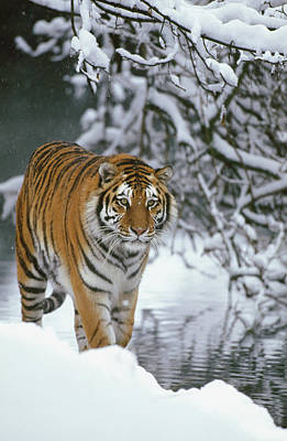 Photograph - Siberian Tiger Panthera Tigris Altaica by Konrad Wothe/ Minden Pictures