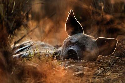 Photograph - Sleepy Striped Hyena by Ariel Fields