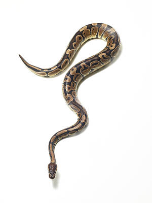 Photograph - Snake Photographed Against A White by Michael Blann