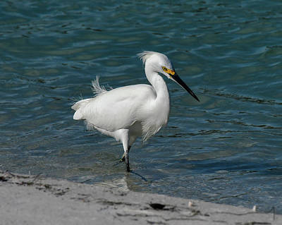 Photograph - Snowy Egret by Ken Stampfer