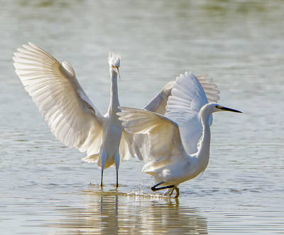 Photograph - Snowy Egrets Chase 1097-111718-1cr by Tam Ryan