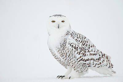 Photograph - Snowy Owl Nyctea Scandiaca Ghost Of The by Bruce Lichtenberger