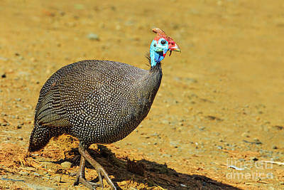 Photograph - South African Guineafowl Bird by Benny Marty