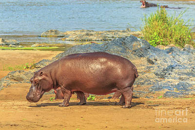 Photograph - South African Hippopotamus by Benny Marty