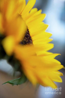 Photograph - Sunflower Fine Art  by Jenny Potter