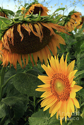 Photograph - Sunflowers Past And Present by Paula Guttilla