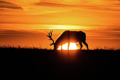 Photograph - Sunrise Elk by Jay Stockhaus