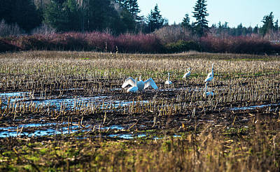 Photograph - Swans In Corn Stubble by Tom Cochran