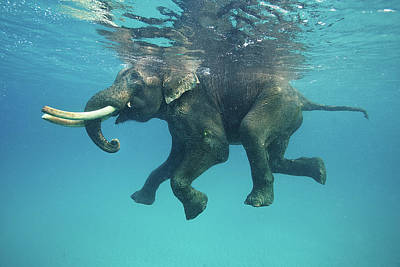 India Photograph - Swimming Elephant by Mike Korostelev  Www.mkorostelev.com
