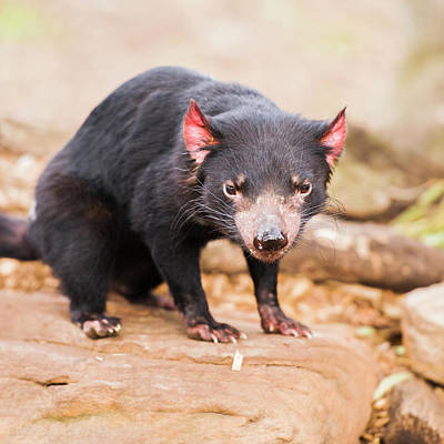 Photograph - Tasmanian Devil In Hobart, Tasmania by Rob D