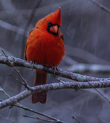Photograph - The Curious Cardinal  by John Harding
