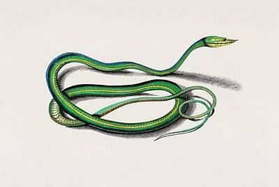 Painting - The Green Vine Snake  Dryinus Nasutus  Illustrated By Charles Dessalines D  Orbigny  1806 1876  by Celestial Images