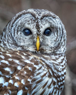 Photograph - The Stare by Brad Bellisle