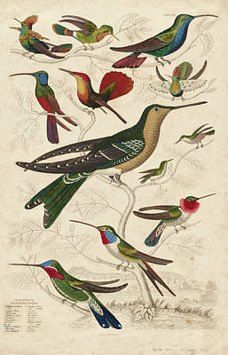 Rufous Wall Art - Painting - Trochilus, Hummingbirds by William Davis