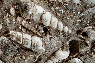 Photograph - Turritella Fossils by William Mullins